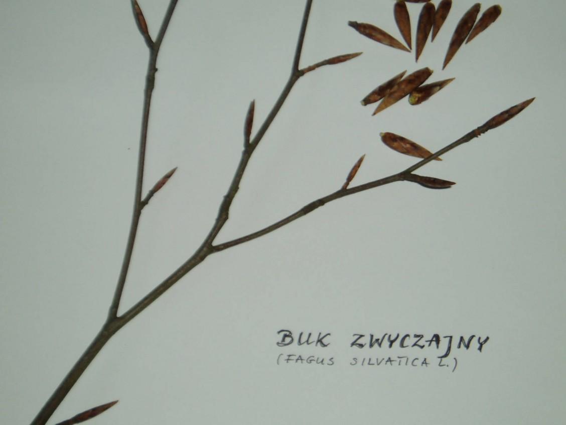 sz1_1_02_drzewo_buk_zwyczajny