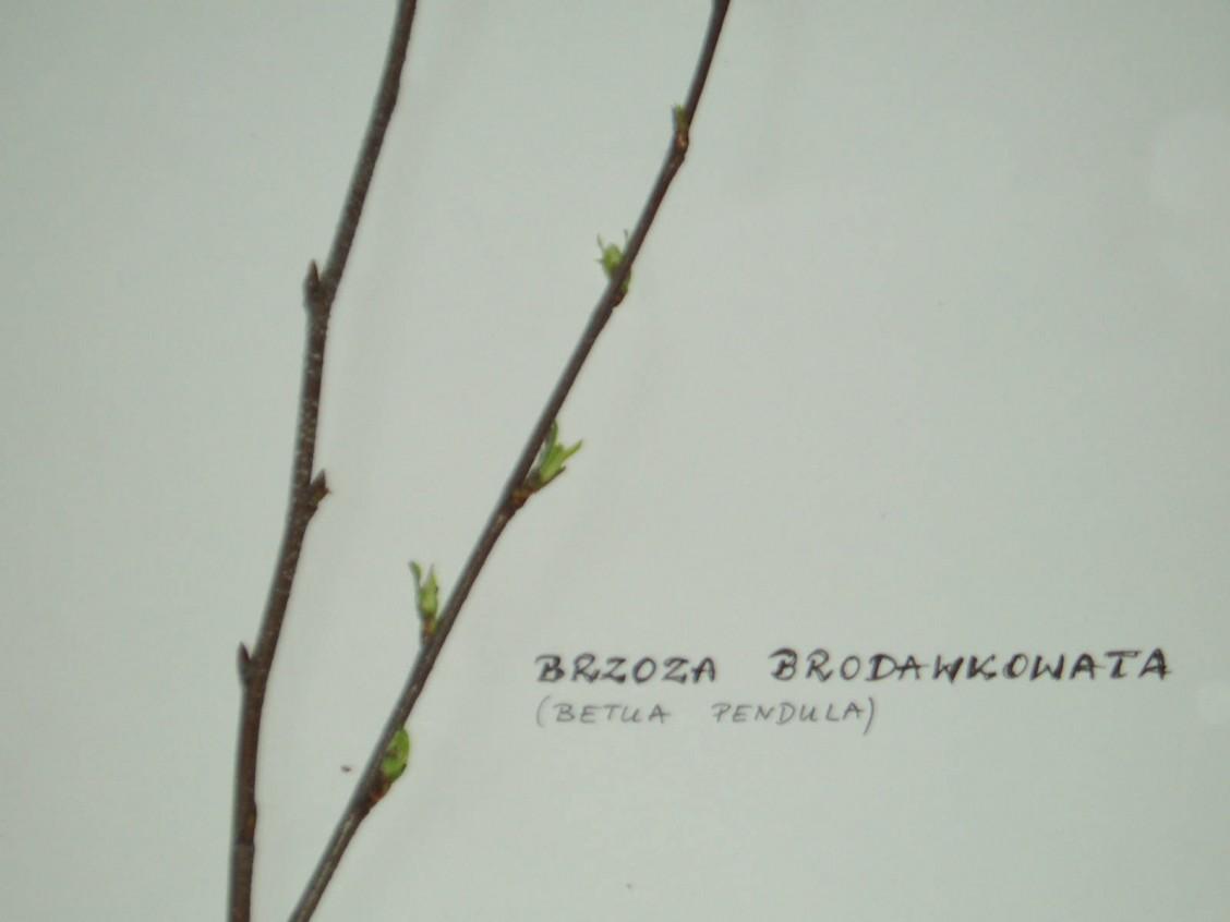 sz1_1_03_drzewo_brzoza_brodawkowata