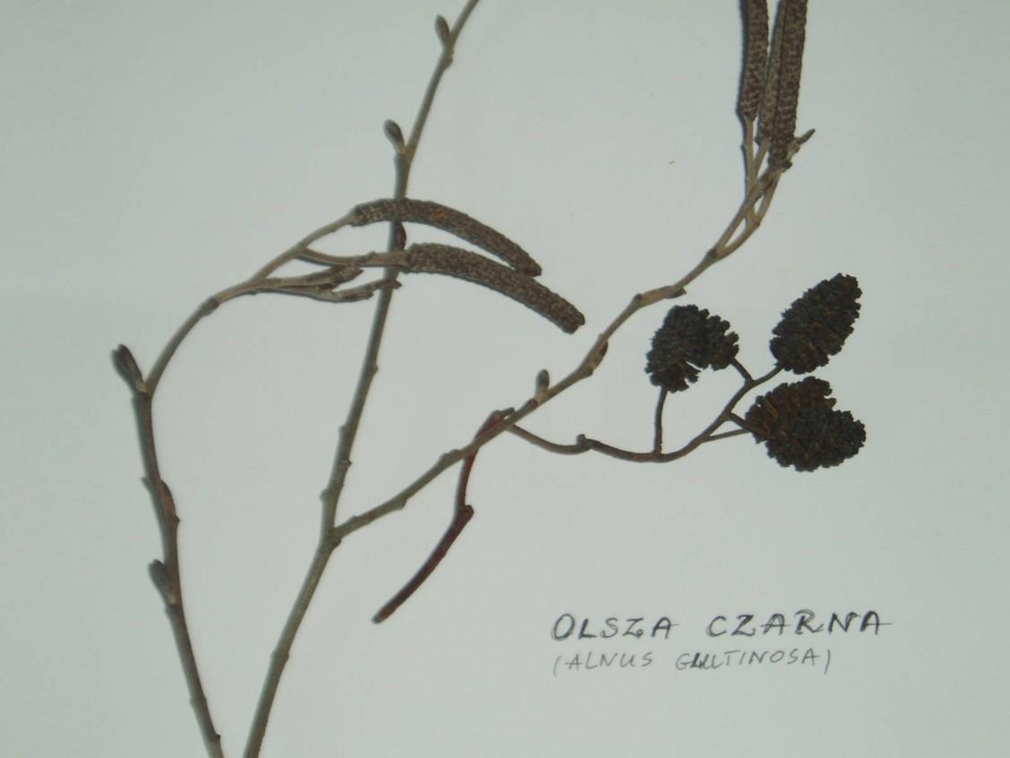 sz1_1_04_drzewo_olsza_czarna