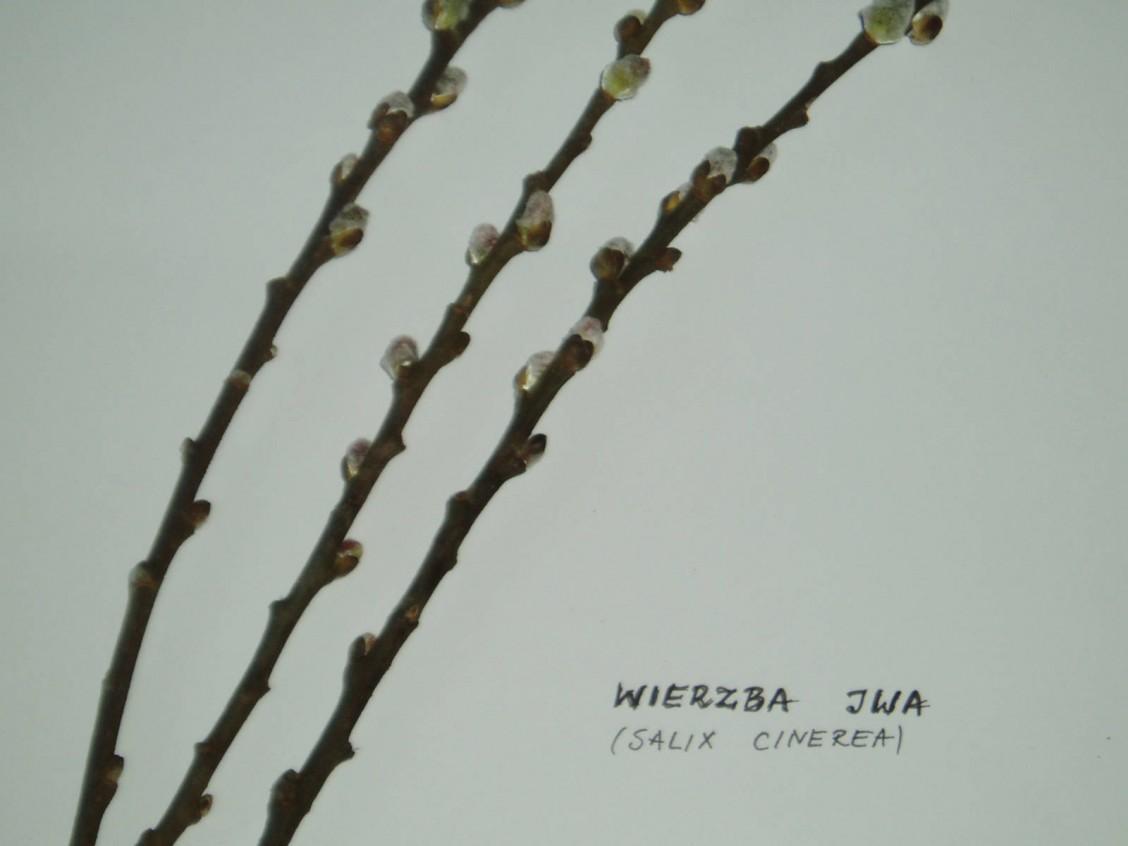 sz1_1_05_drzewo_wierzba_iwa