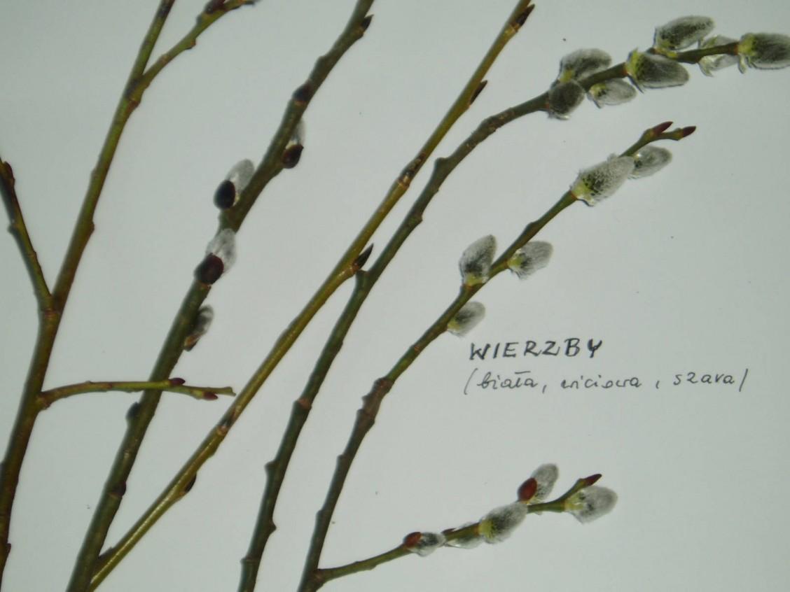 sz1_1_05_drzewo_wierzby