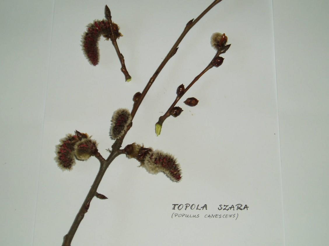 sz1_1_06_drzewo_topola_szara